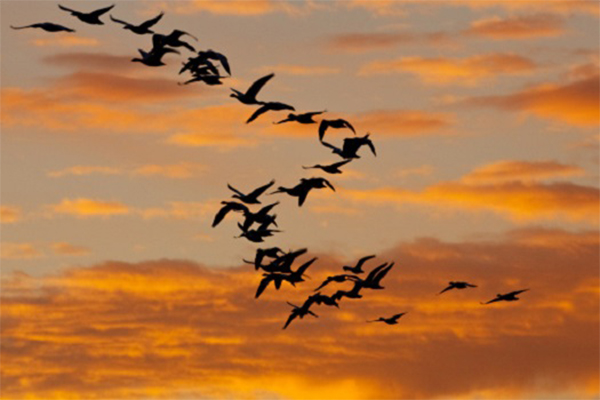 AI Employed to Better Understand Bird Migration, Flight and Collisions 1