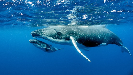AI Being Tapped to Understand What Whales Say to Each Other